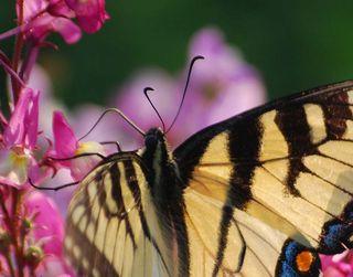 ButterflyMar31e