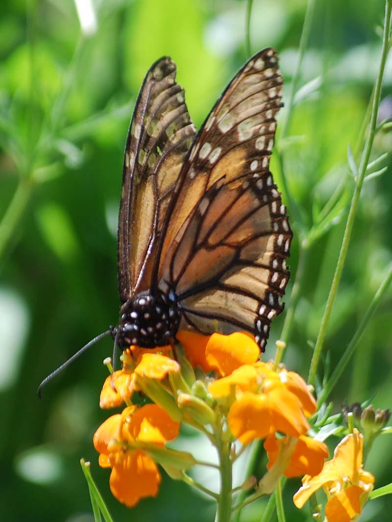 MonarchApr21a