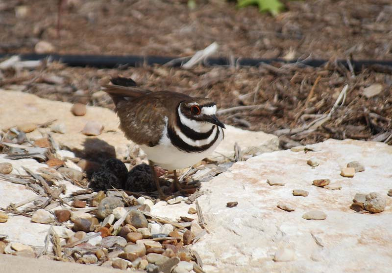 Kildeer_edited-1