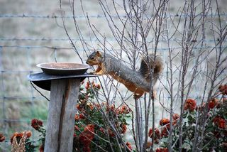 SquirrelDec11a