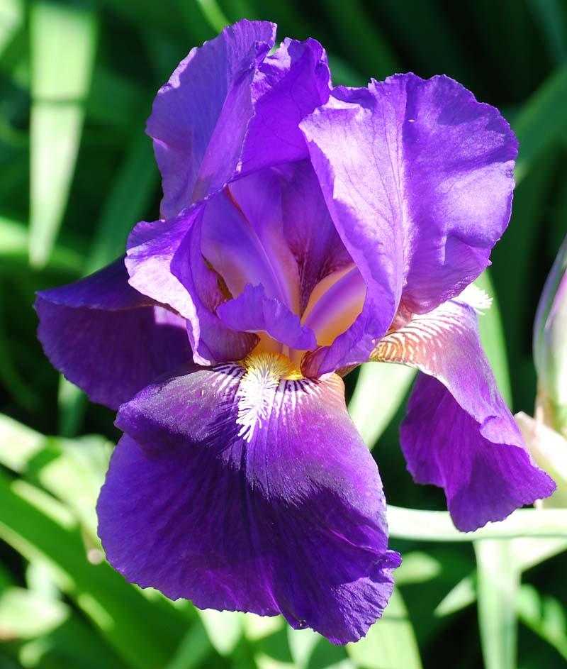 PurpleirisMar25
