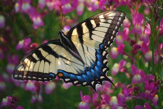 ButterflyMar31