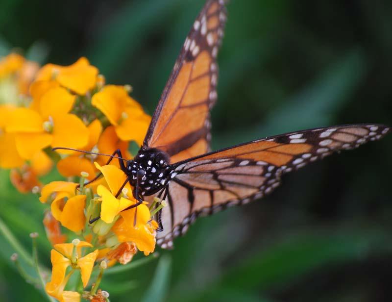 MonarchApr9d
