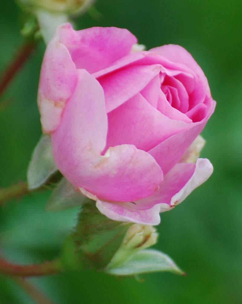 RosebudApr15