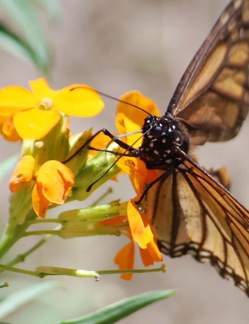 MonarchApr21c