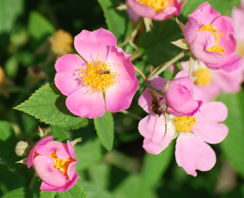 RosesMay23