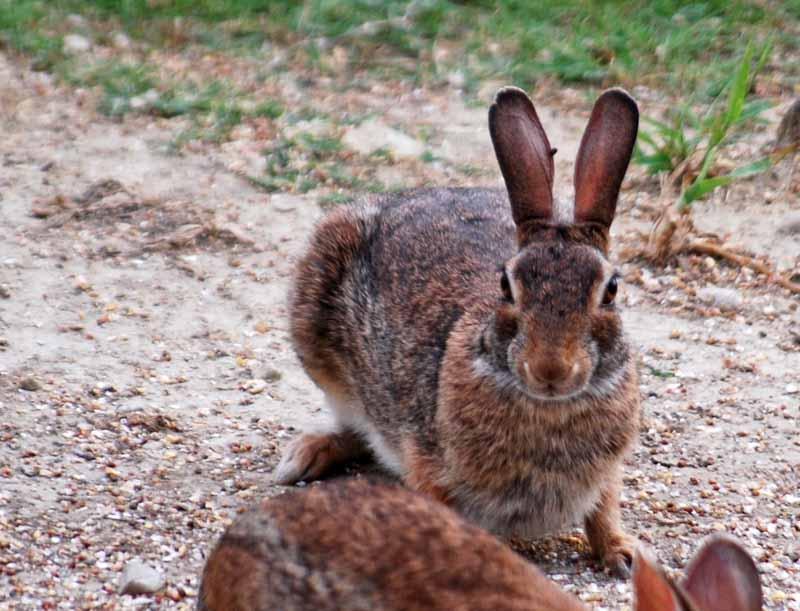 RabbitJun1