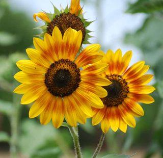SunflowersJun2
