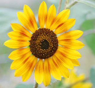 SunflowerJun7b