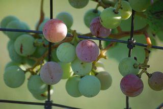 GrapesJul1