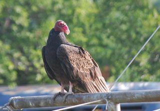 VultureJul16b