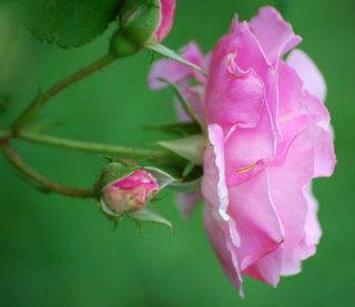 PinkroseApr13