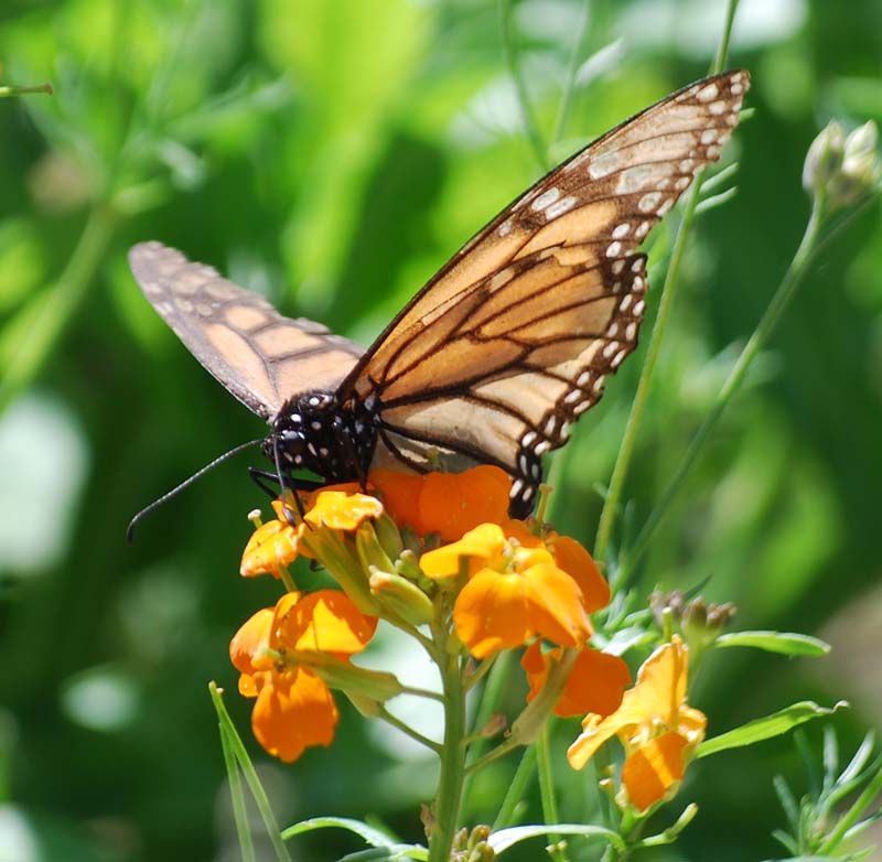 MonarchApr21b