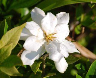 GardeniaMay19