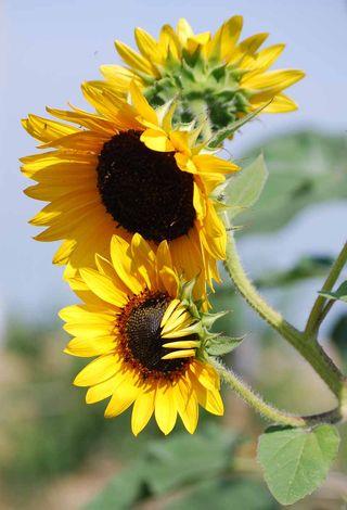 SunflowersJun5