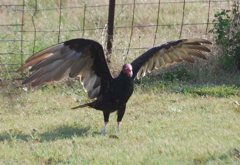 VultureJul16a