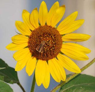 SunflowerJul17