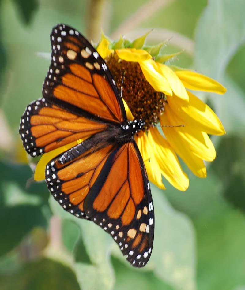 MonarchSepg