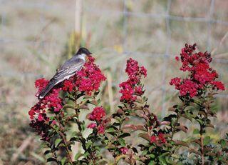 BirdmyrtleSep9