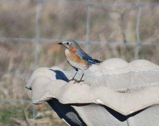 BluebirdMar2b