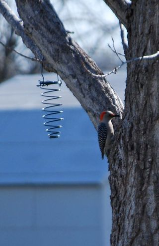 WoodpeckerMar20