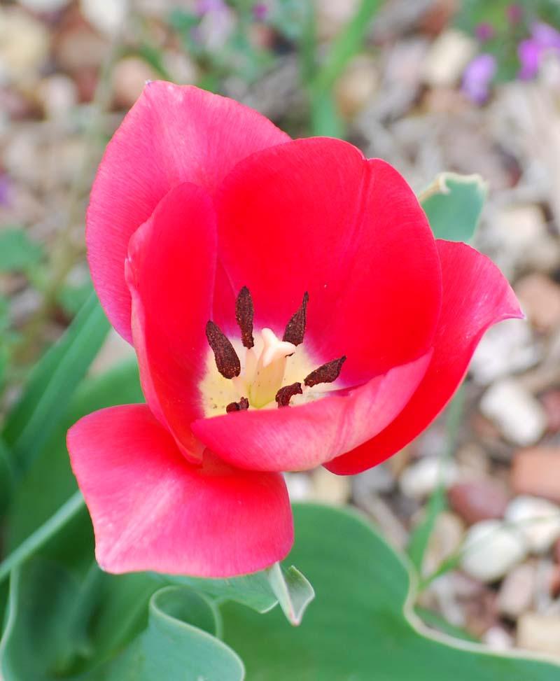 TulipMar30a