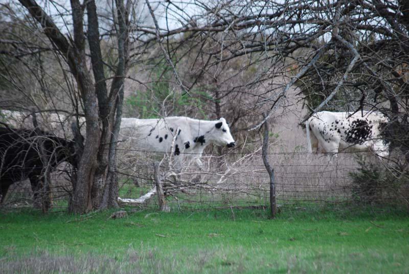 CowsApr6