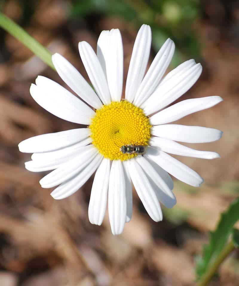 DaisyApr11