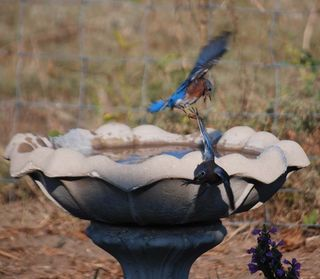 BluebirdsSep23b