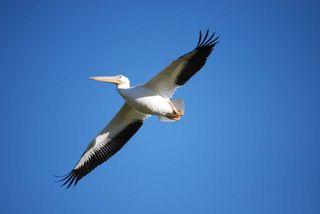 Pelican18