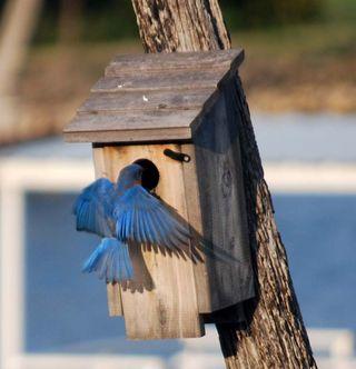 BluebirdMar15