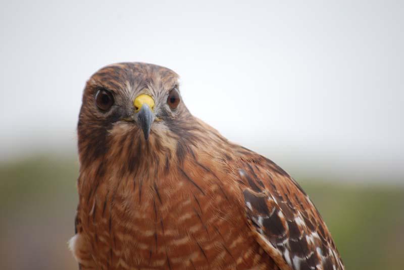 Redshoulder hawk4