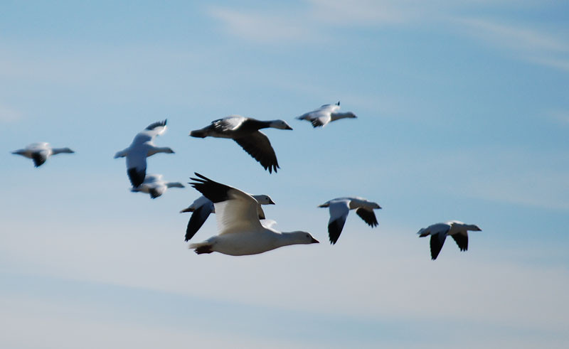 Flyinggeese