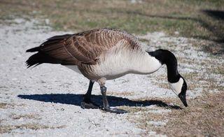 Canada goose3