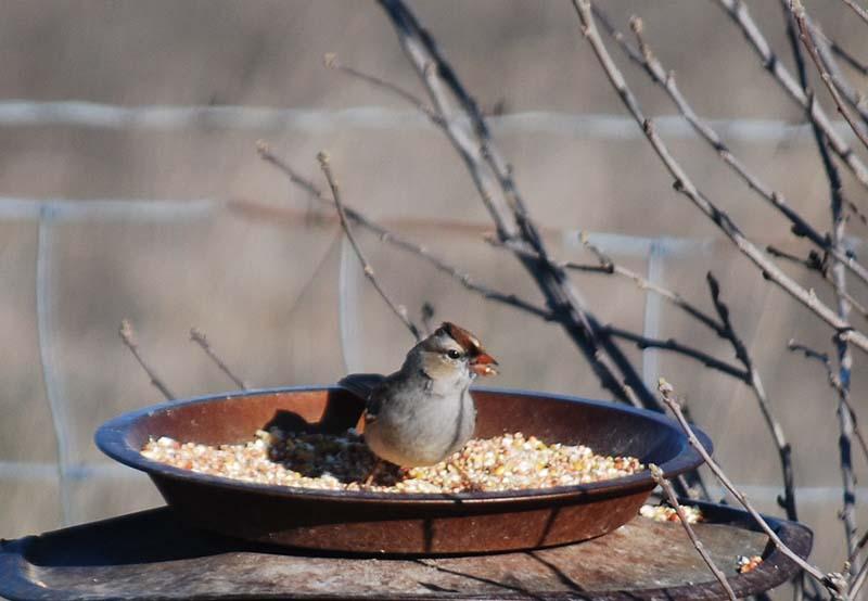 SparrowMar2a