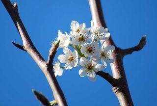 BlossomMar11