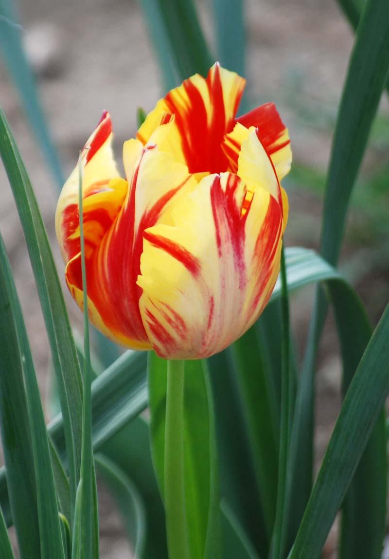 TulipApr6