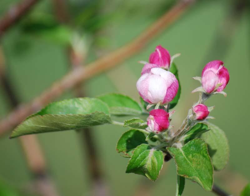 Apple blossomApr15a