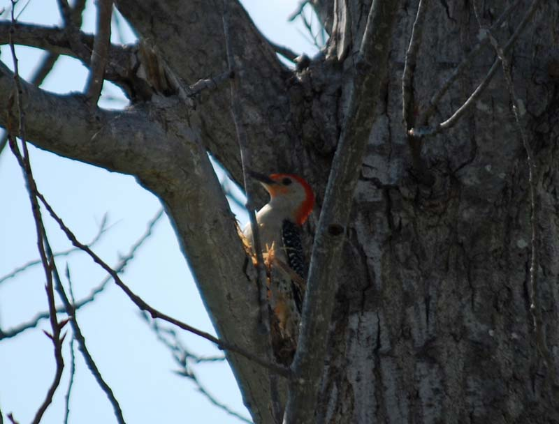 WoodpeckerApr30a