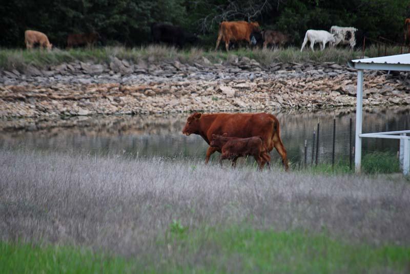Cow calf May5