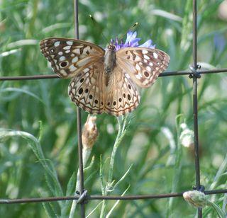 ButterflyJun1b