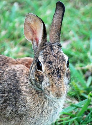 RabbitJul1
