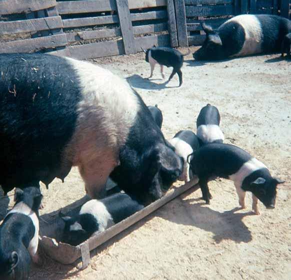 Hibs pigs