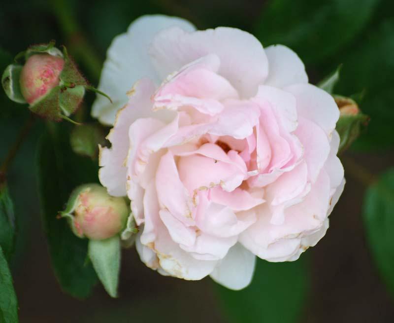 RoseMay5