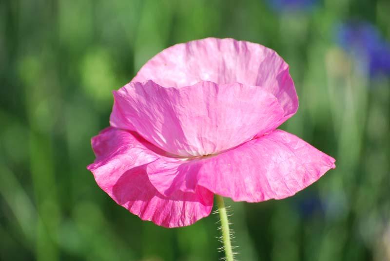 PinkpoppyMay7