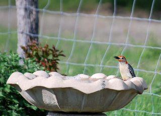 WoodpeckerMay10a