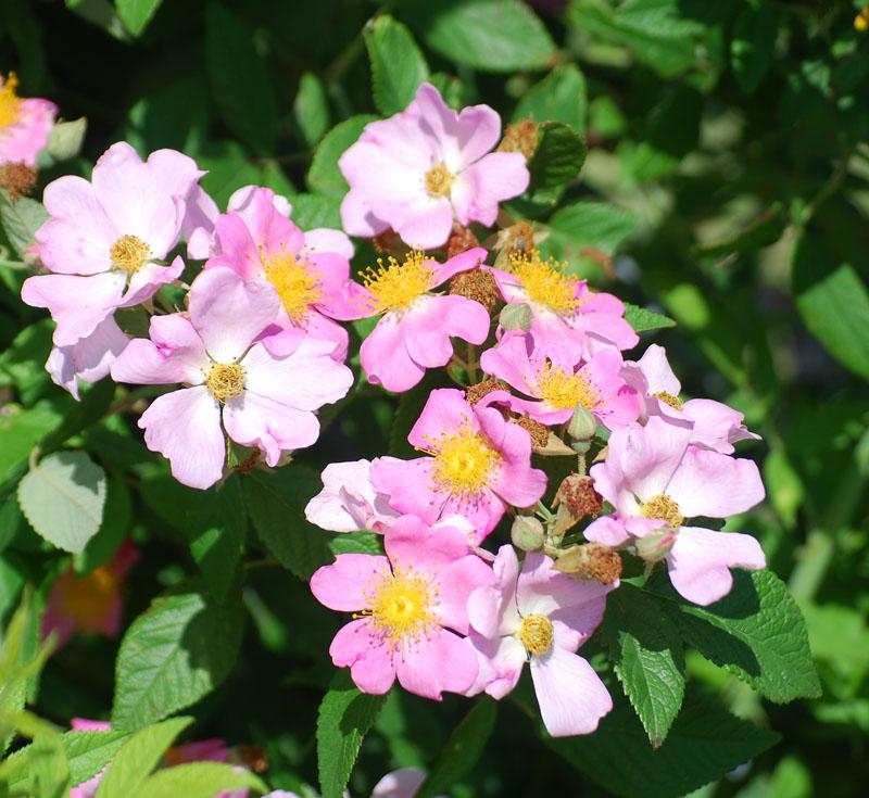 RosesJun10