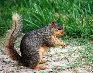 SquirrelJun15a