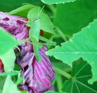 GrasshopperJun25