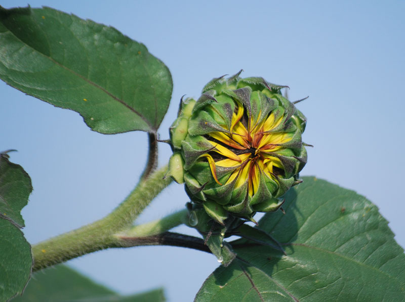 SunflowerJul7a